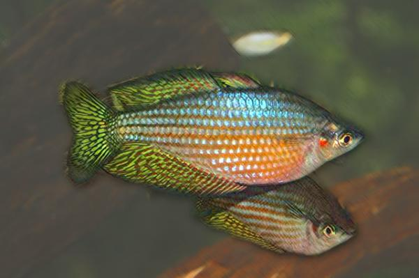 Rainbowfish as dither fish