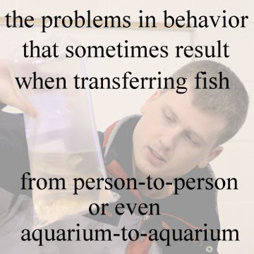 statement: The challenge of changed behavior when transferring fish between persons or one's own aquariums